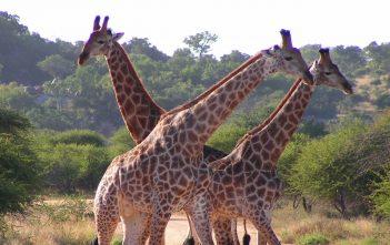 """South African Giraffes, fighting"" by D. Gordon E. Robertson"