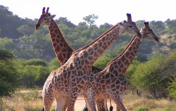 """South African Giraffes, fighting"" by D. Gordon E. Robertson"